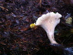 chanterelle mushrooms health benefits